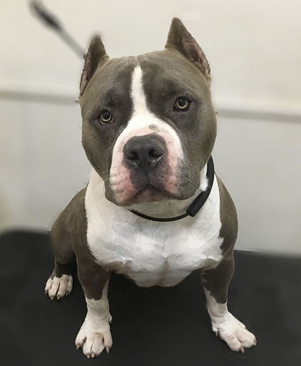 Southpaw Mobile Grooming clean short hair American Bully Dog
