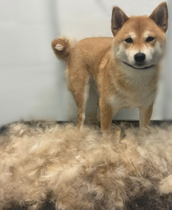 Southpaw Mobile Grooming Shiba Inu Blow out